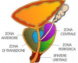 zone prostata